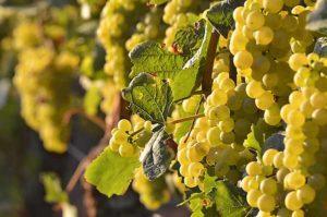 Vollreife Chardonnay-Trauben