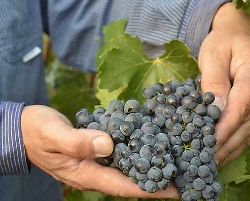 Vollreife Portugieser-Trauben - bestimmt für Portugieser Weißherbst