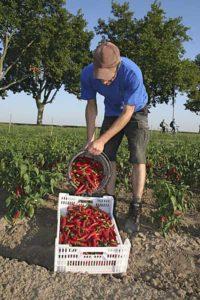 Biologischer Chili-Anbau in der Pfalz